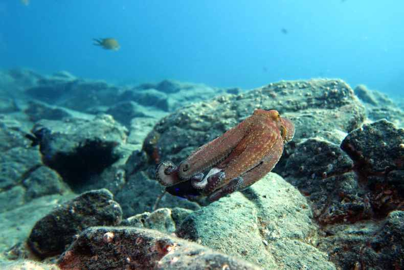 Octopus scuba diving Tenerife Canary Islands