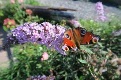Den Osse Butterfly Zeeland Netherlands