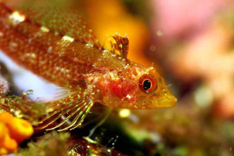 Blenny scuba diving porquerolles France