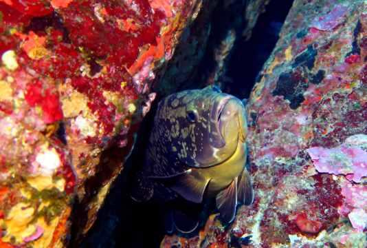 grouper scuba diving porquerolles France