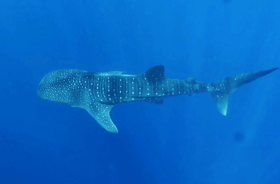 Whale sharks Utila Honduras March 2017