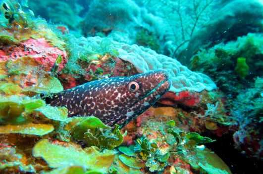 moray eel scuba diving Utila Honduras