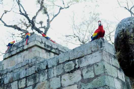 Parrots Copan Honduras