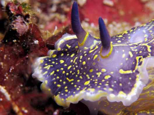 nudibranch scuba diving in Vis Island Croatia