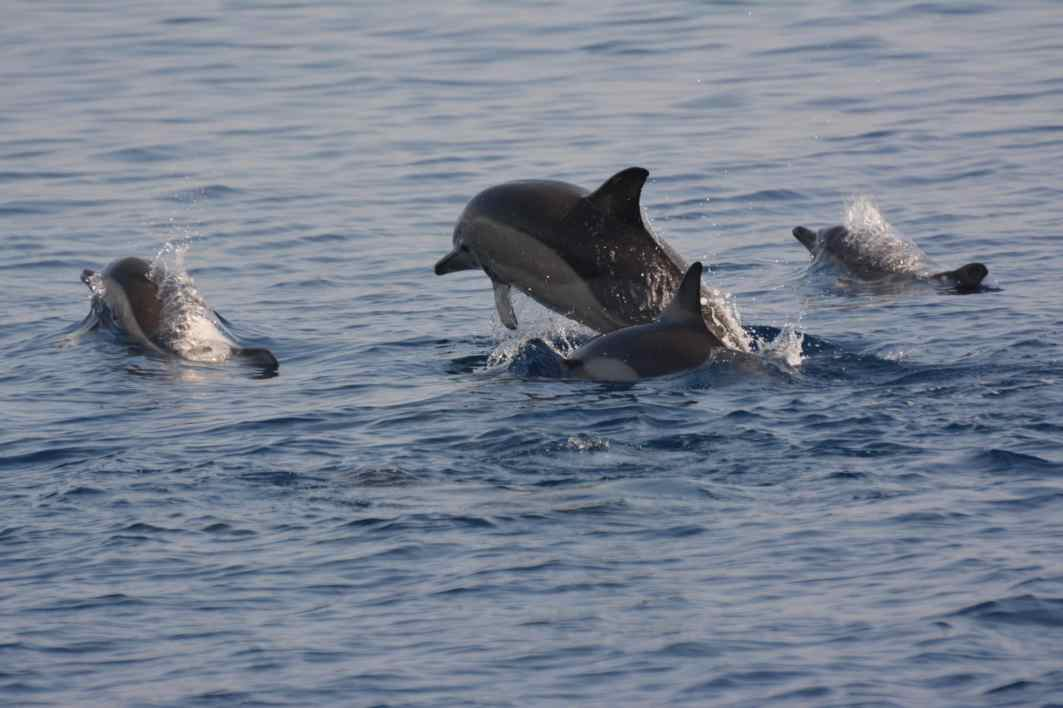 Dolphins MOM Alonissos National Park Greece