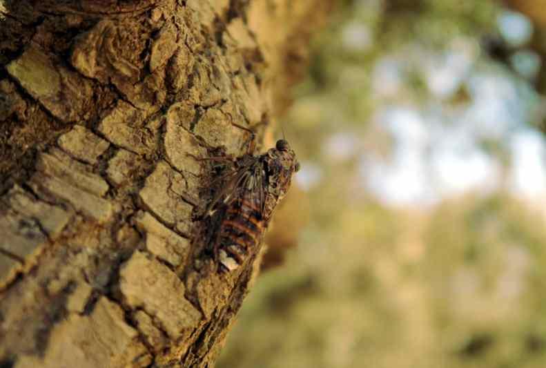 Cicada on an olive tree Porquerolles Island French Riviera