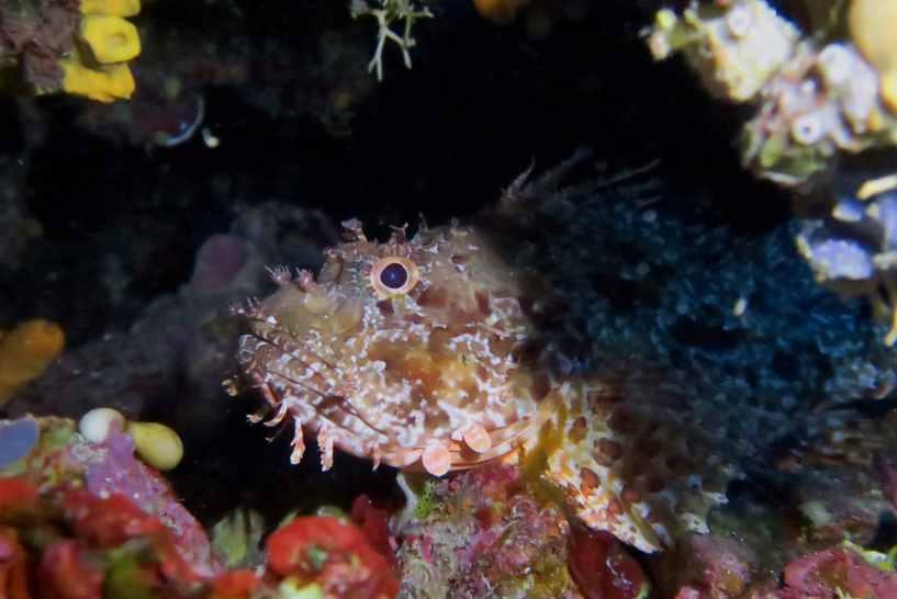 Scorpion fish Scuba diving in the Blue Cave Alonissos Greece