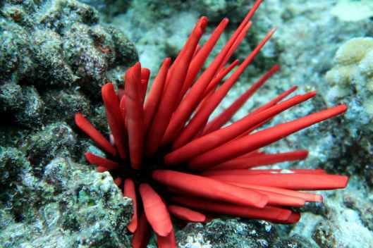 Red Slate Pencil Urchin - Snorkelling Enunue Molokini Crater Maui Hawaii USA