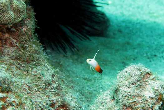 Fire Goby Scuba diving in Kohala Coast Big Island Hawaii USA