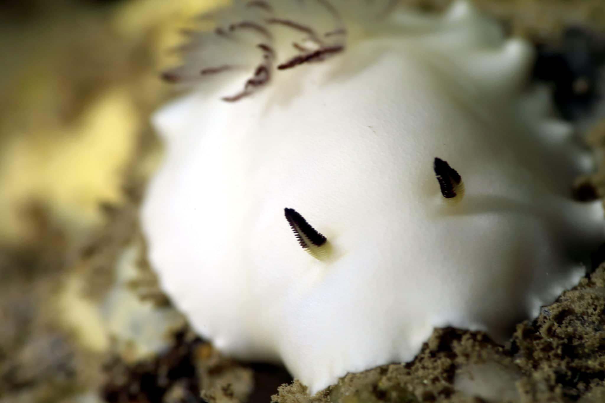 Nudibranch Diving in lave tubes Kohala Coast Hawaii