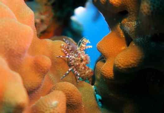 Marbled shrimp - scuba diving in White Rock Makena Maui Hawaii USA
