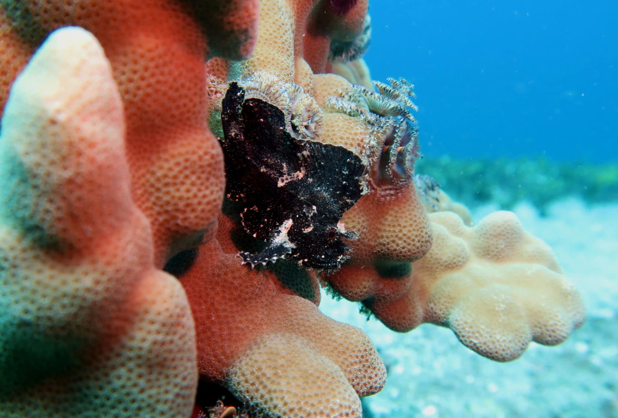 Leaf scorpionfish - scuba diving in White Rock Makena Maui Hawaii USA