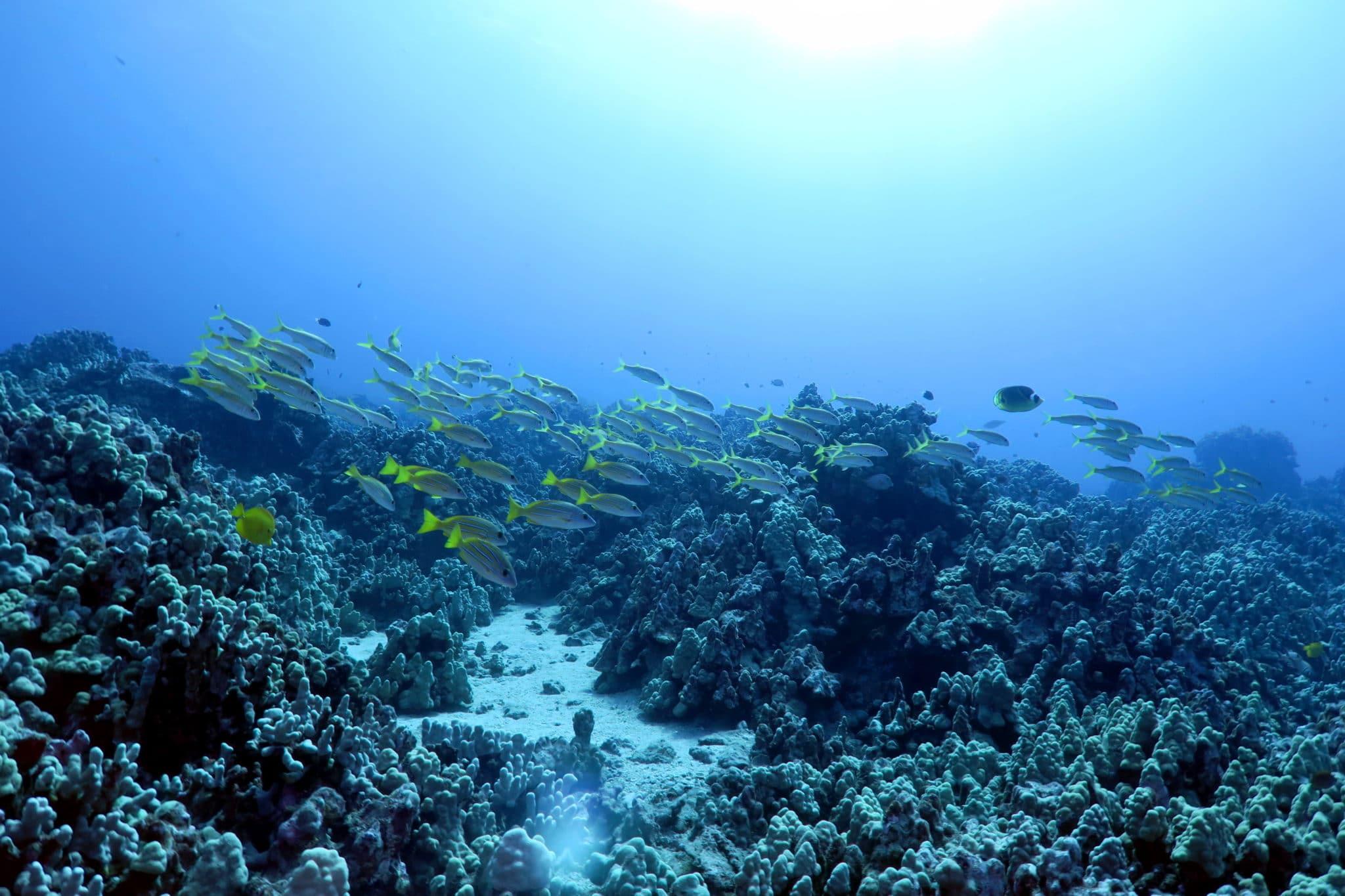 Scuba diving in Kohala Coast Big Island Hawaii USA