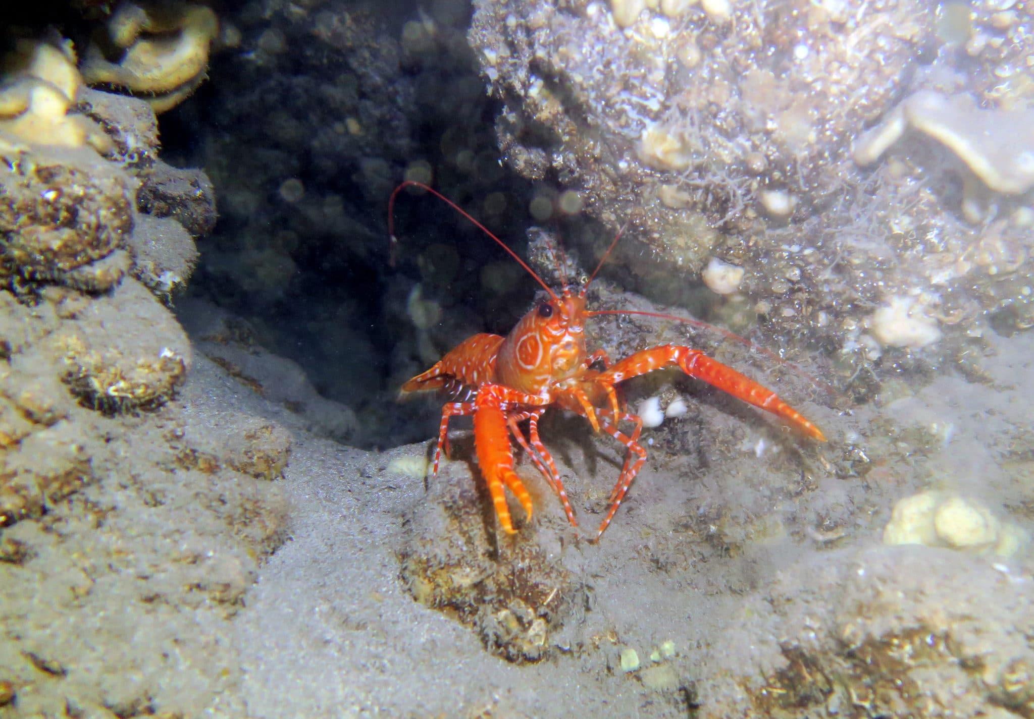 Marbled Lobster Diving in lave tubes Kohala Coast Hawaii