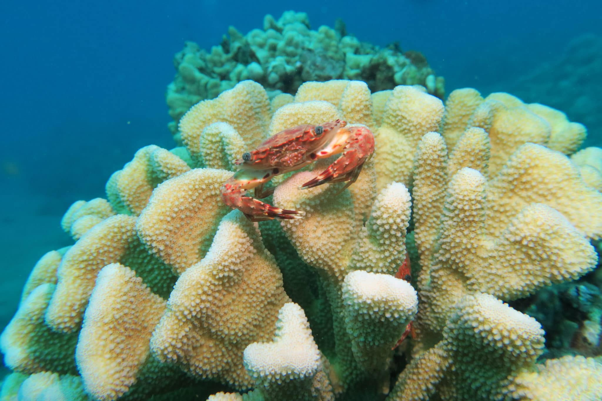 Crab in antler coral Ulua Beach scuba diving shore diving Wailea Maui Hawaii