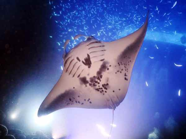 Night dive with manta rays Kona Hawaii