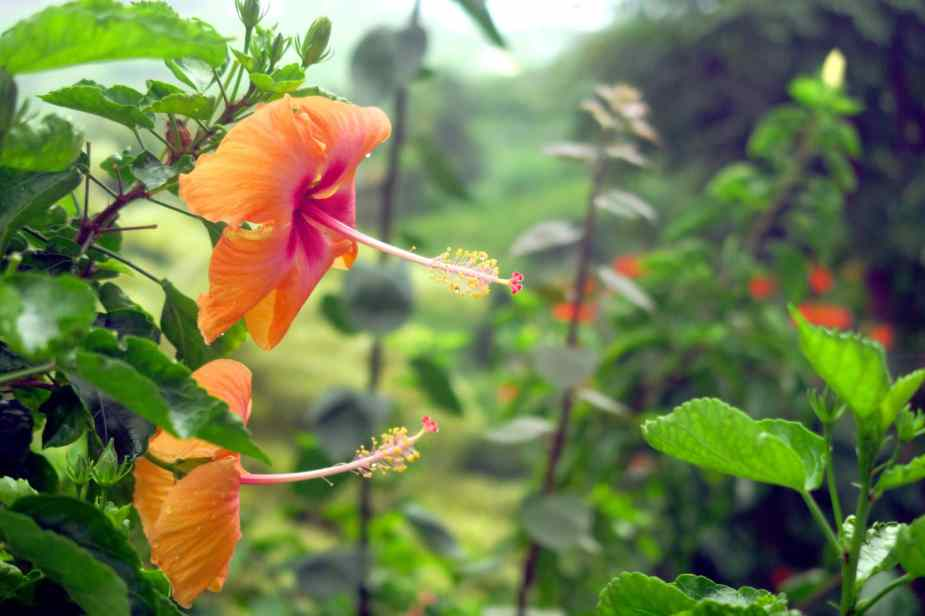 Hibiscus Flower Kona Big Island Hawaii