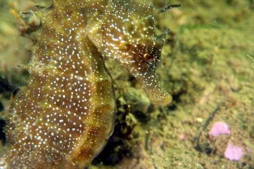 seahorse thau lagoon France