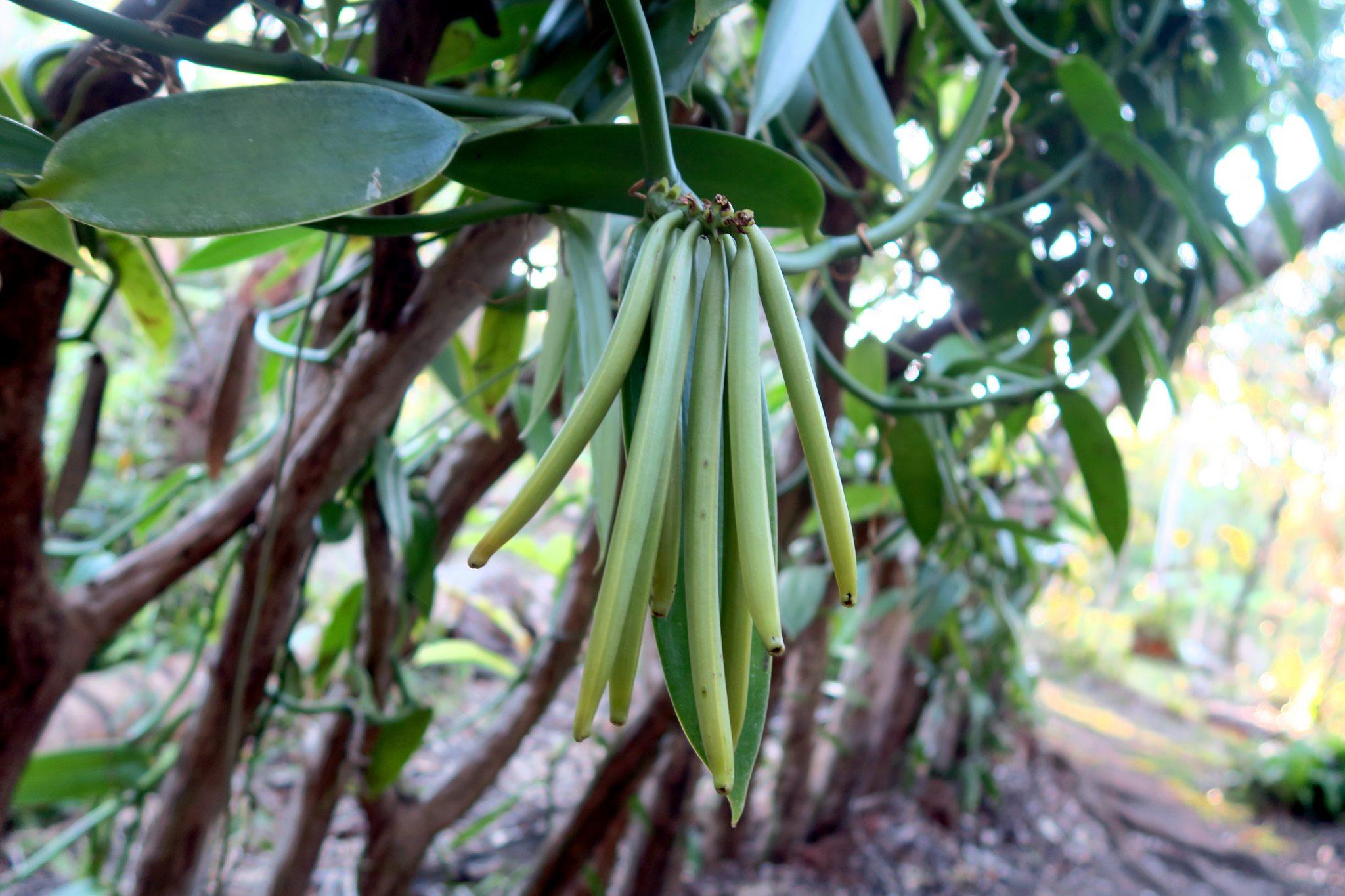 Vanilla Plantation New Caledonia