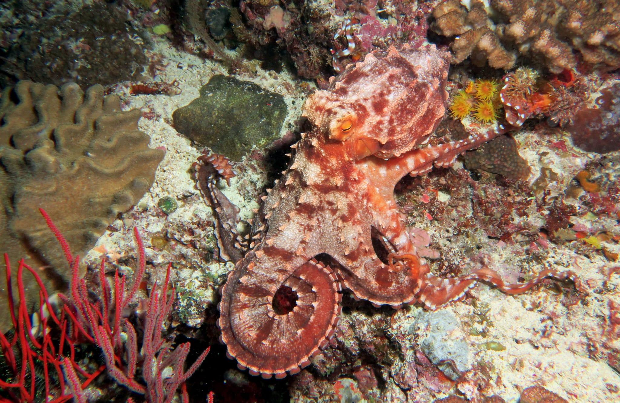 Octopus scuba diving Isle of Pines New Caledonia