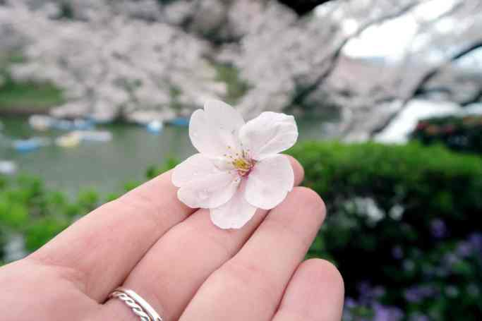 Sakura in Tokyo Japan