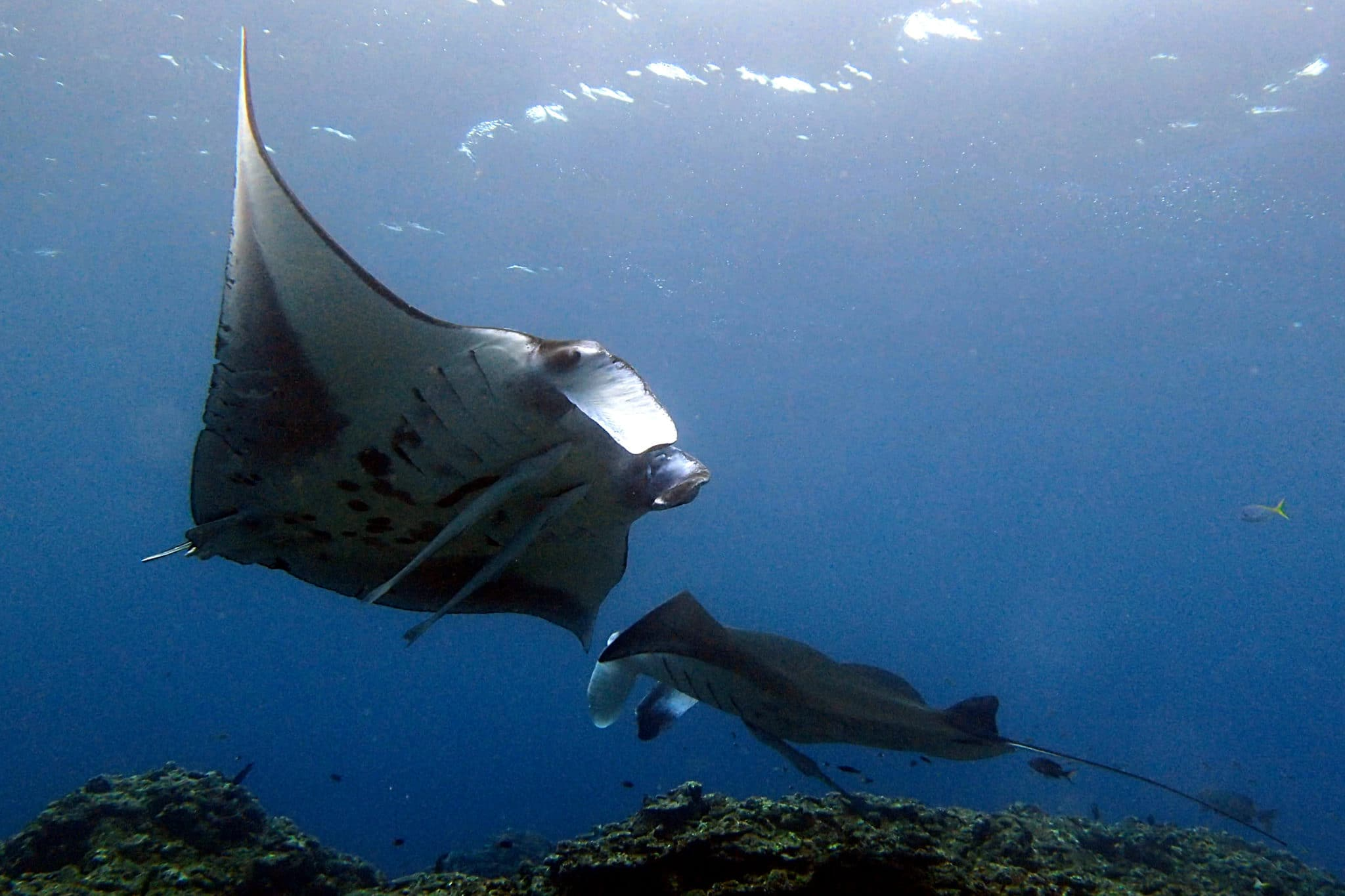 Manta ray Scuba diving Ishigaki Okinawa Japan