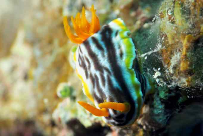 Chromodoris Magnifica nudibranch Scuba diving Taketomi Ishigaki Okinawa Japan