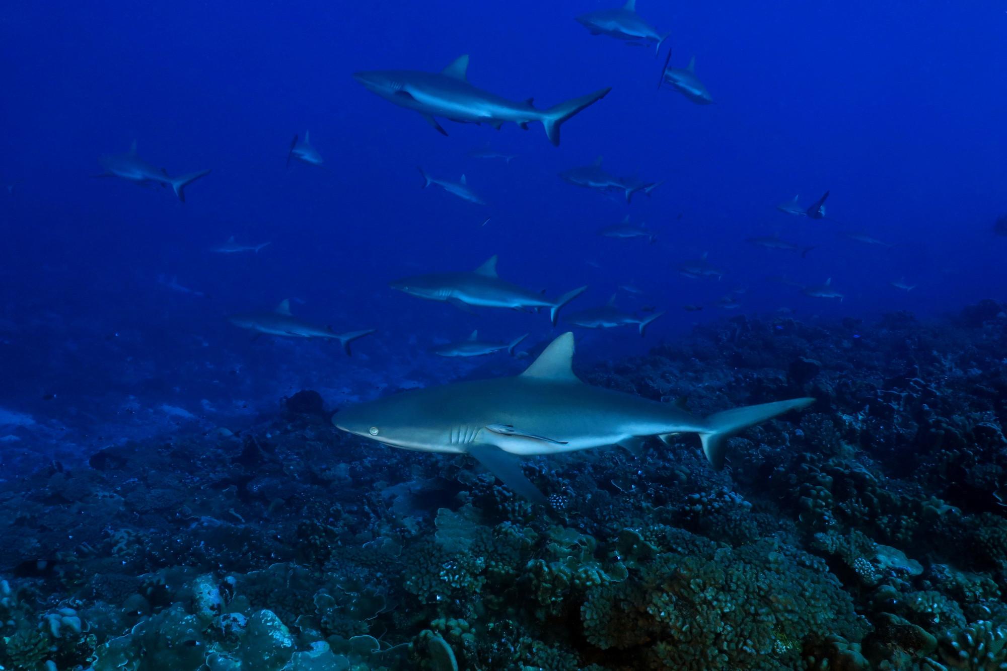 Shark diving Fakarava French Polynesia