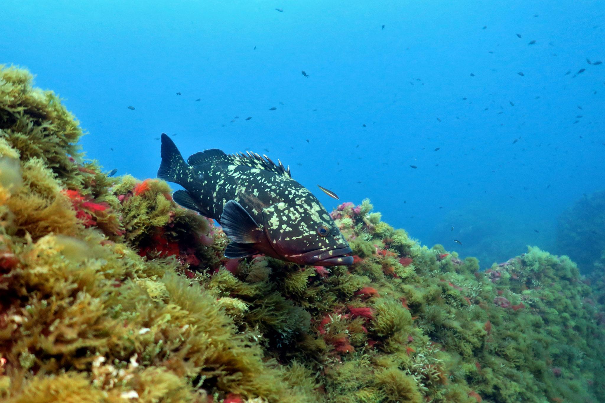Mérou Plongée Port-Cros