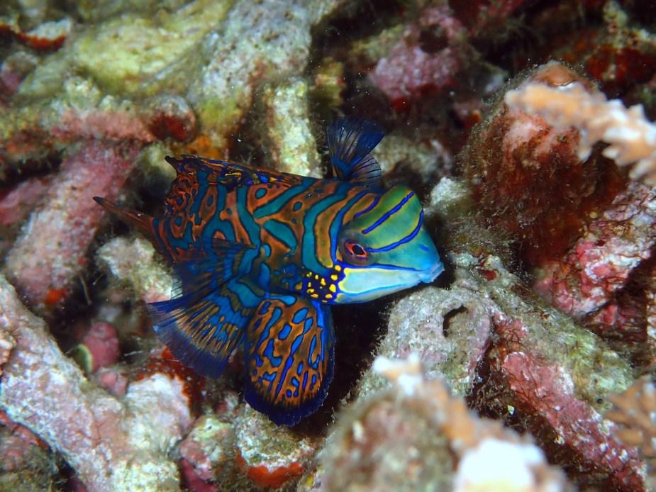 mandarin fish - best dive sites Bali