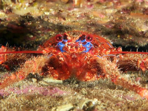 spinous squat lobster - diving st pabu