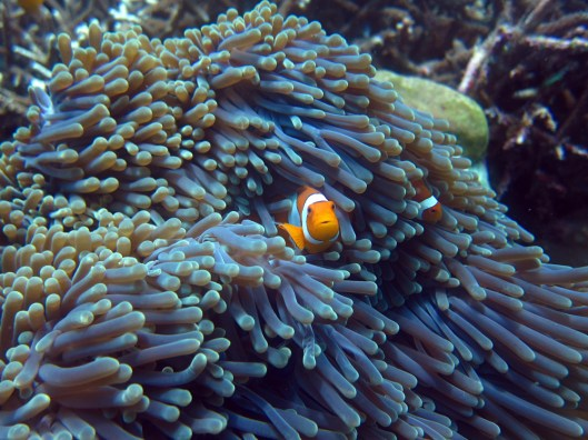 clown nemo fish anemone Indonesia