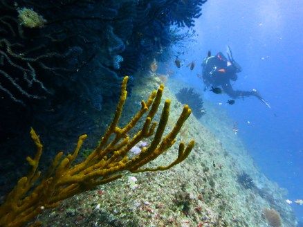 diver spong and gorgonian sea fans Marseille