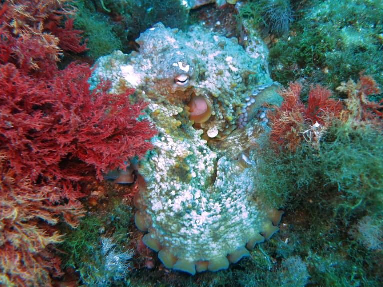 white octopus Marseille