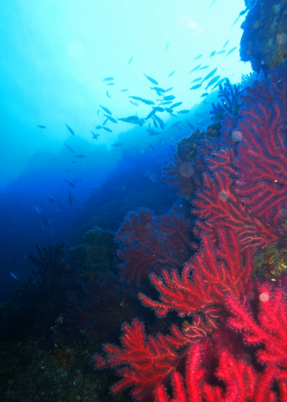 red gorgonian sea fans wall Marseill
