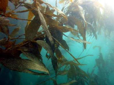diving ushuaia beagle canal kelp forest