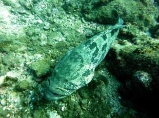 pretty big grouper diving netrani india