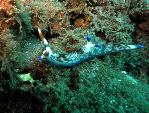 Nudibranch muck diving Dauin Negros Philippines