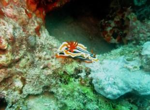 Nudibranch Pescador island Moalboal Cebu Philippines