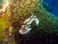 Porcelain crab Alona reef Panglao Bohol Philippines