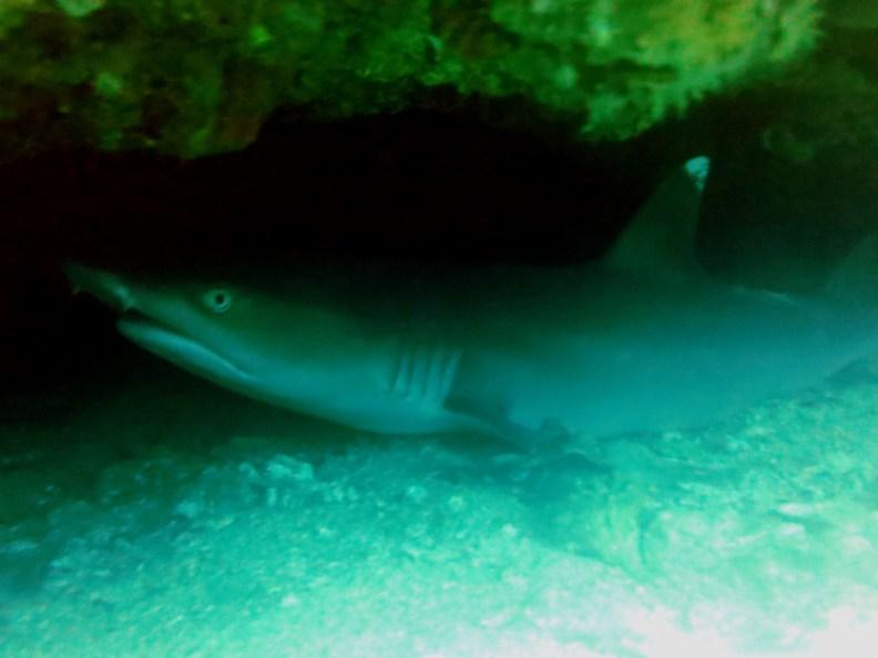 White tip shark Gato island cavern Scuba diving Malapascua Philippines