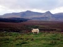 sheep in the mountains Island Skye Scotland