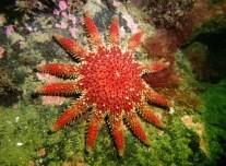 Sun starfish scuba diving Sound of Mull Scotland