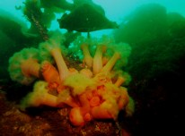 Plumose anemones Kelp scuba diving Sound of Mull Scotland
