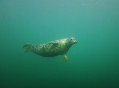 Grey Seal scuba diving Farne Islands England UK