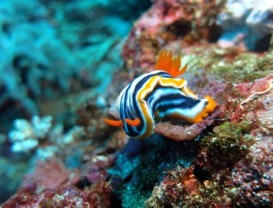 Scuba diving Nudibranch Crystal Bay Nusa Lembongan Bali Indonesia