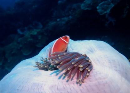 Anemone fish USAT Liberty Wreck Scuba diving Tulamben Bali Indonesia