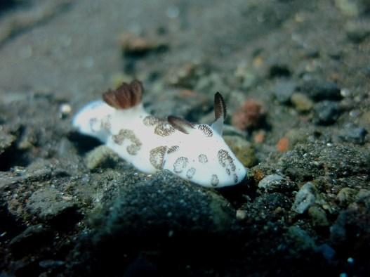 Nudibranch scuba diving Tulamben Bali Indonesia
