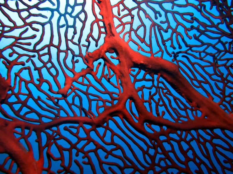 Gorgonian scuba diving Tulamben Bali Indonesia