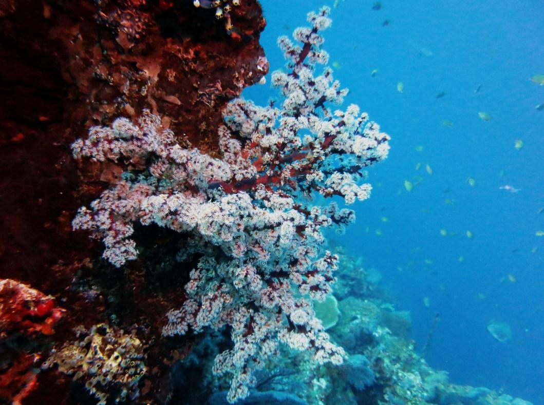 Coral Menjangan Island Bali Indonesia